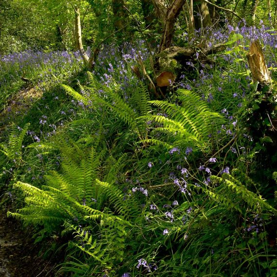 fern-and-bluebell-bank