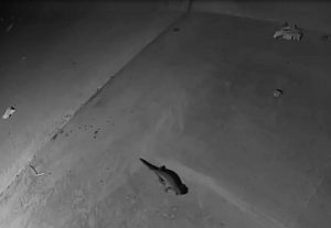 Great Crested Newts moving through tunnel, East Anglia