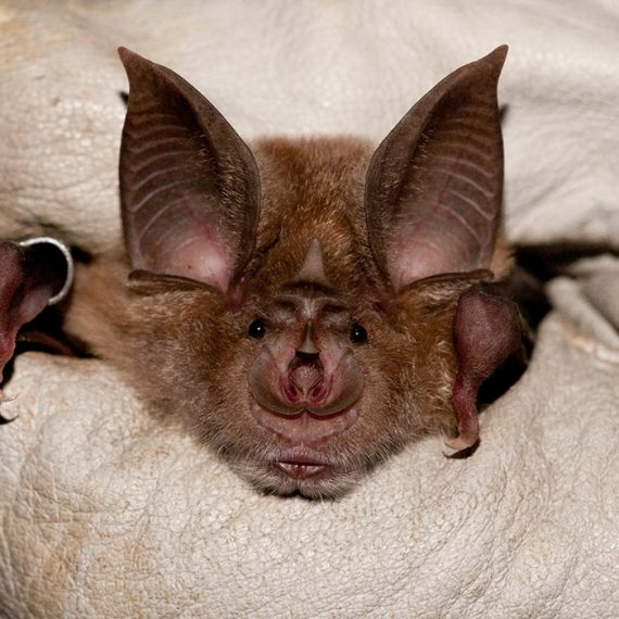 Greater-Horseshoe-bat