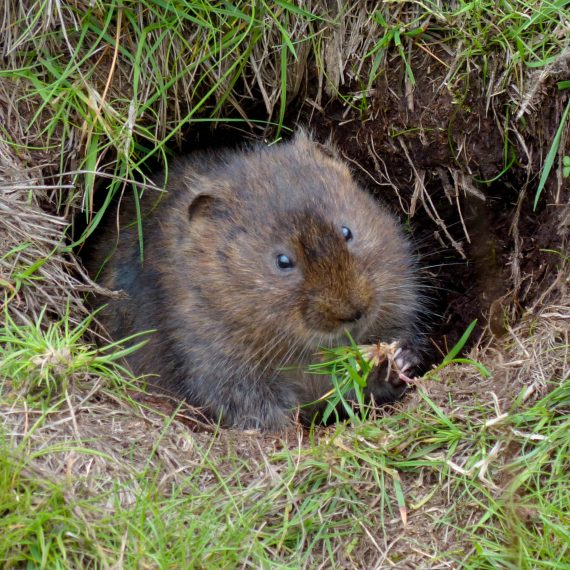 Water Vole in burrow