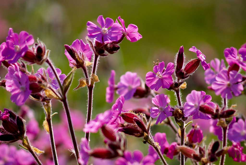 Red-Campion
