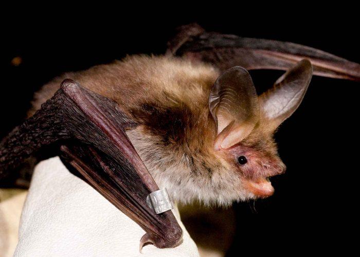 Bechstein's-bat