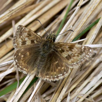 The site includes a diverse invertebrate assemblage including dingy skipper butterfly