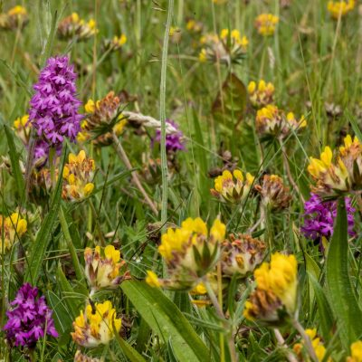 Orchids and Trefoil